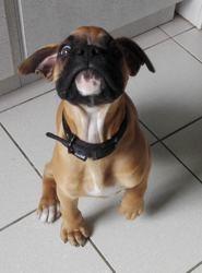 Ounagi, chien Boxer