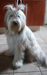 Oups, chien Bearded Collie