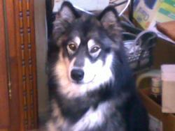 Ourko, chien Malamute de l'Alaska