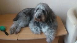 Oursa, chien Bearded Collie
