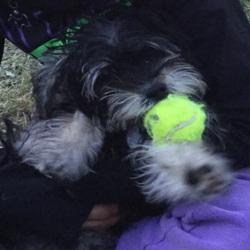 Ourson, chien Yorkshire Terrier