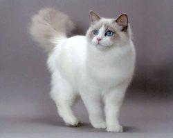 Ouychise, chat Ragdoll