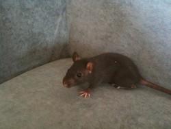 Ouzo, rongeur Rat