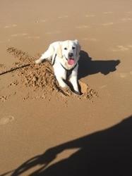 Over, chien Golden Retriever
