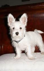 Ovi, chien West Highland White Terrier