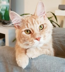 Owen, chat Maine Coon