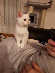Owen, chaton British Shorthair