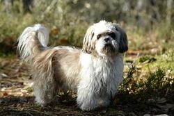 Owen, chien Shih Tzu