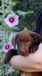 Oxane, chien Labrador Retriever