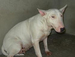 Oxena, chien Bull Terrier