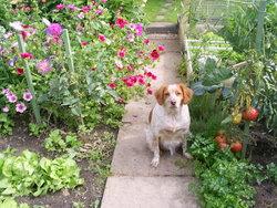 Oxi, chien Épagneul breton