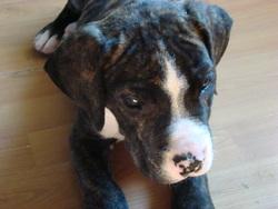 Oxmo, chien Dogue argentin