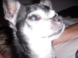 Oxo Du Calice D' Emeraude, chien Chihuahua