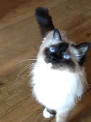Oxo, chat Birman
