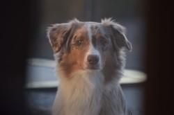 Oxo, chien Berger australien