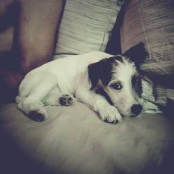 Oya, chien Parson Russell Terrier