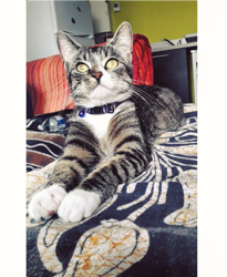 Ozirys, chat Européen