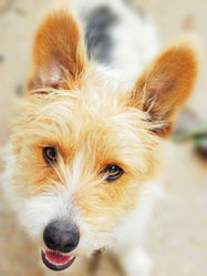 Ozy, chien Jack Russell Terrier