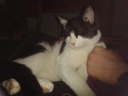 Ozzy, chat Européen