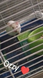 Ozzy, rongeur Hamster