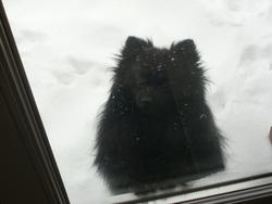 Ozzy, chien Spitz allemand