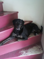 Ozzy, chien Labrador Retriever