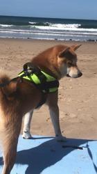 Ozzy Du Clos De Ternes, chien Shiba Inu