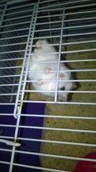 Pépette, rongeur Hamster