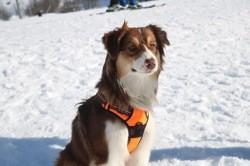 Pêcha, chien Berger australien