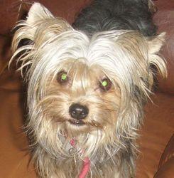 P'tit Loup, chien Yorkshire Terrier