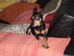 Pabio, chien Pinscher