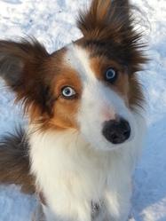 Pablo, chien Berger australien