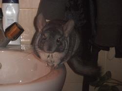 Pablo, rongeur Chinchilla