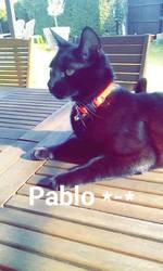 Pablo, chat Européen