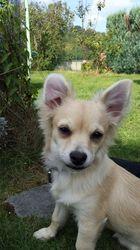 Pablo, chien Chihuahua