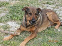 Pablo, chien Rottweiler
