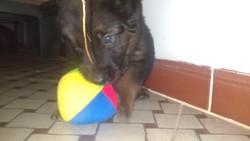 Pablo, chien Berger allemand
