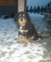 Pablo, chien Dogue du Tibet