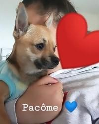Pacôme, chien Chihuahua