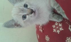 Pacha, chat Siamois