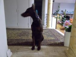 Pacha, chien Dobermann