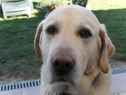 Pacha, chien Labrador Retriever