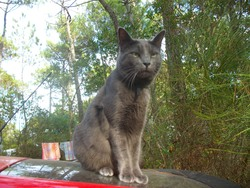 Pacha, chat Chartreux