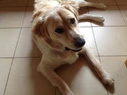 Pacha, chien Golden Retriever