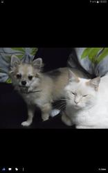 Pacha, chien Chihuahua