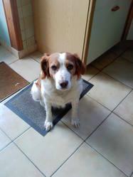 Pacifique, chien Épagneul breton