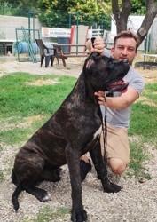 Pacino, chien Cane Corso