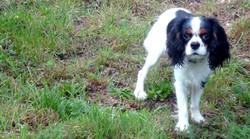 Packo, chien Cavalier King Charles Spaniel
