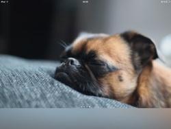 Paco, chien Carlin