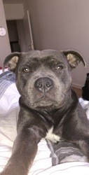 Paco, chien Staffordshire Bull Terrier